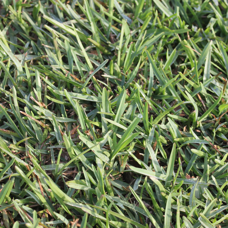 Evangrass Quality Instant Lawns