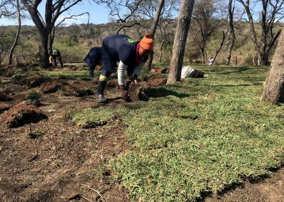 Beginning stages of buffalo lawn being laid at Tala Private Game Reserve