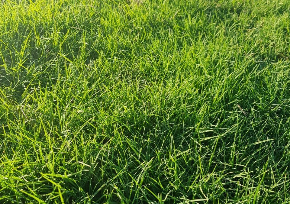 HOW TO GET GREEN, WINTER-RESISTANT GRASS